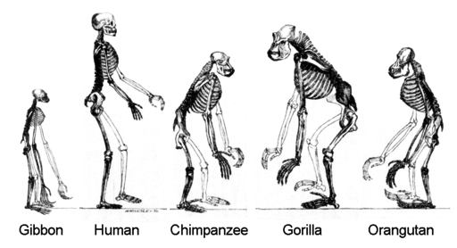 bipedalism in human evolution, Skeleton