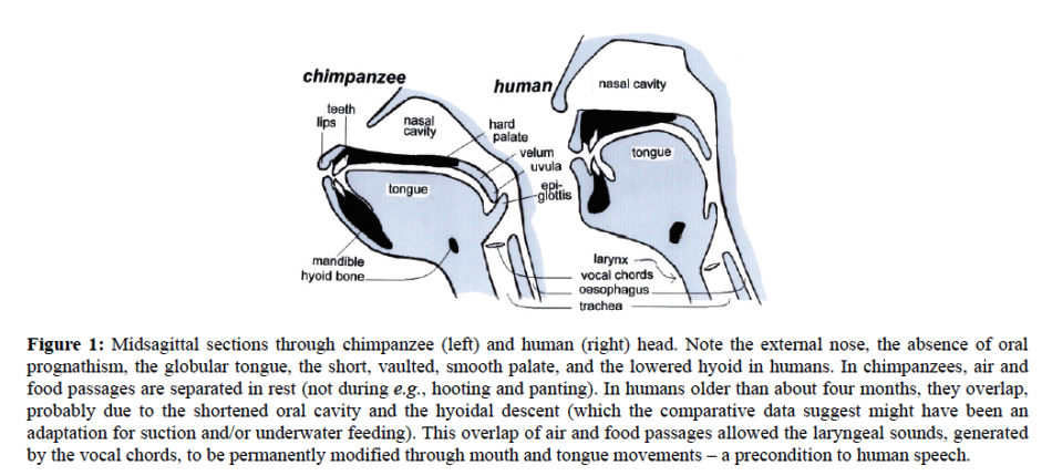 Descended larynx in human beings